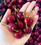 Picture of CHERRY SIZE 10 ( 500gr)